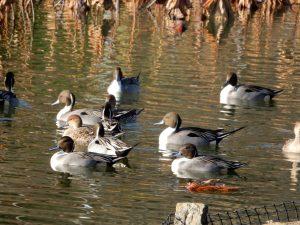 公園内の池に水鳥がたくさん