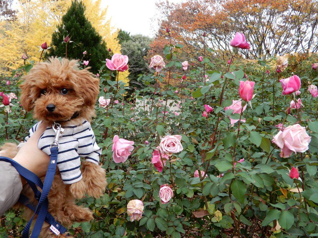 カフェにはベルナール・ビュッフェという名前のバラが咲いています