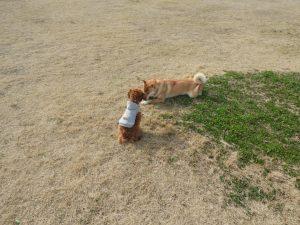 柴犬の子にはボールを取られてしまいました
