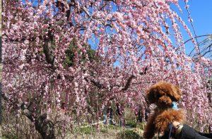 龍尾神社のしだれ梅を楽しむ(掛川市)