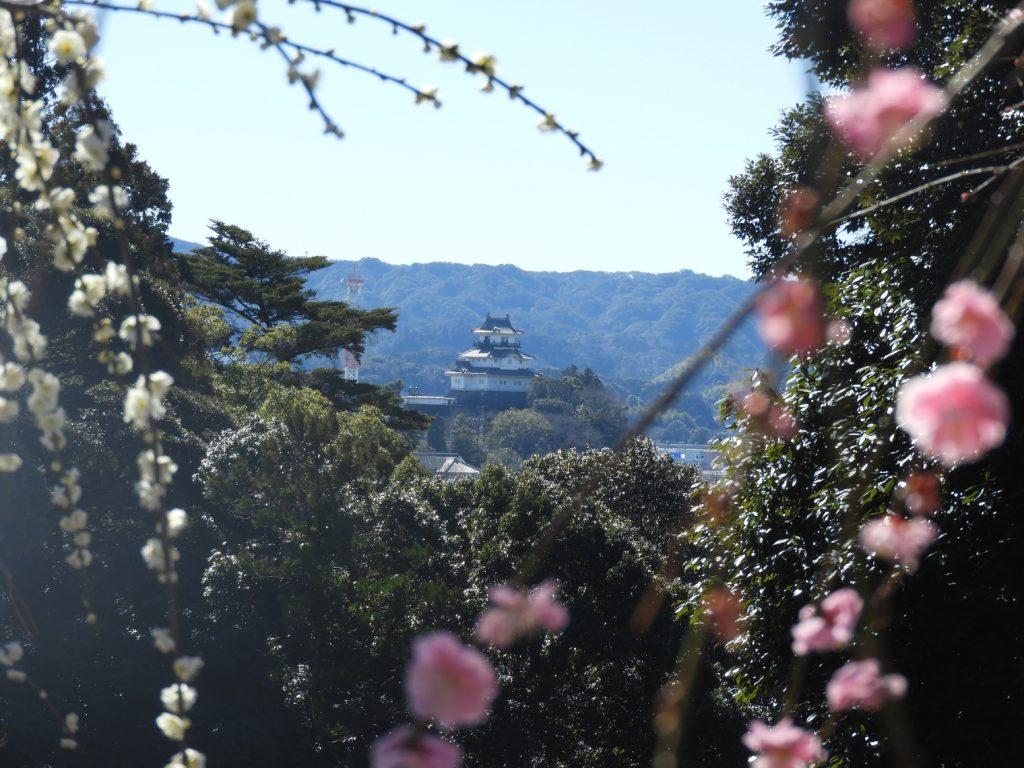 梅の奥に掛川城