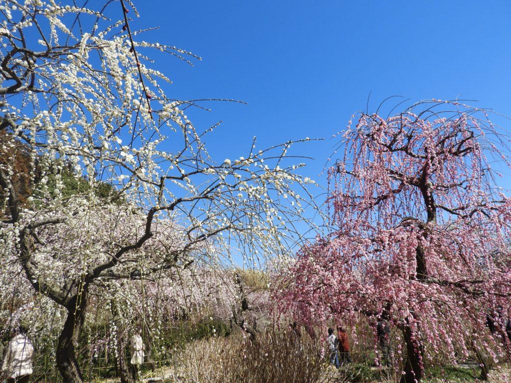 見事な梅の数々
