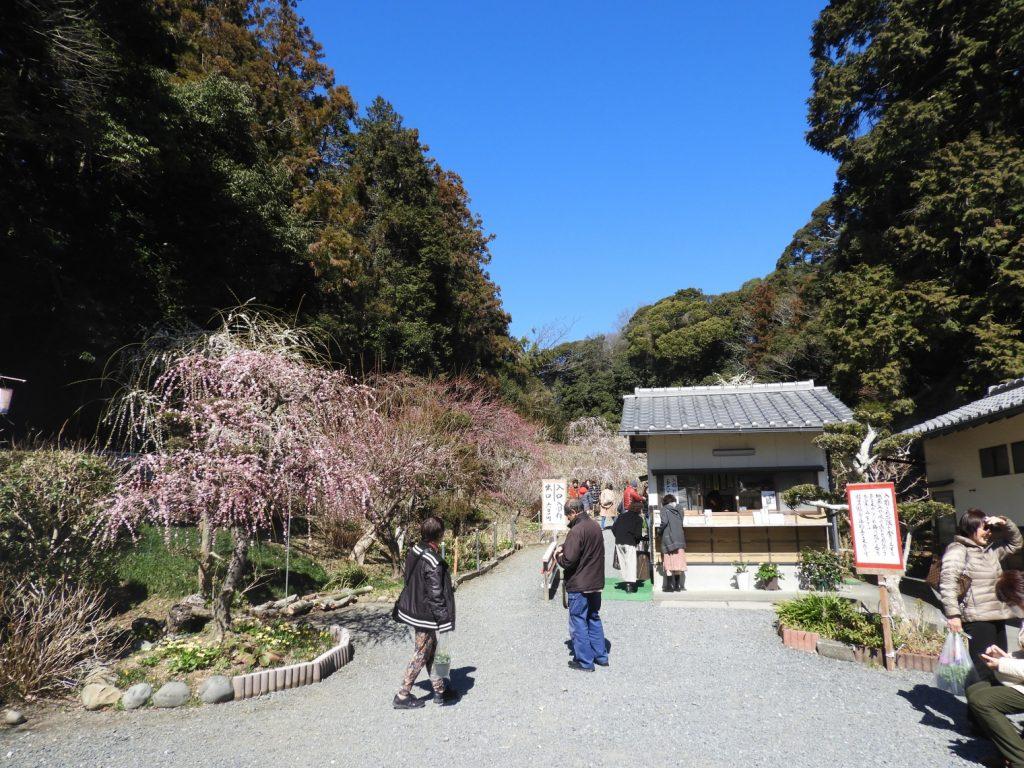 掛川にある龍尾神社にしだれ梅を見に行きました