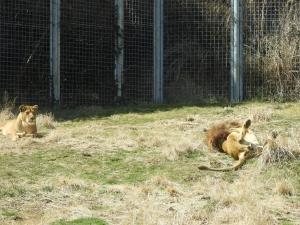 ライオンはもはや百獣の王でなく猫でした