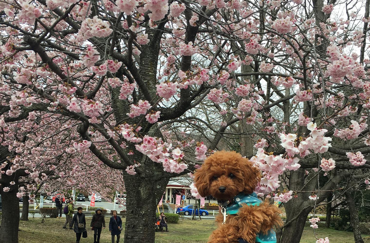 伊豆高原のおおかん桜を楽しむ(伊東市)