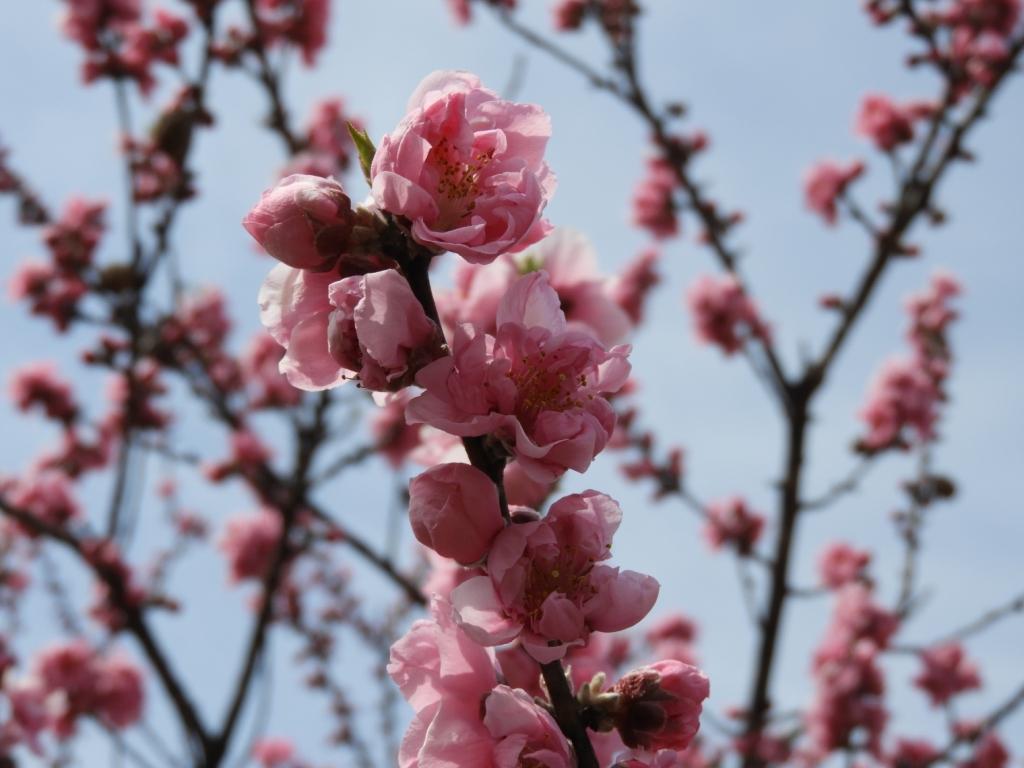 ピンクの花桃