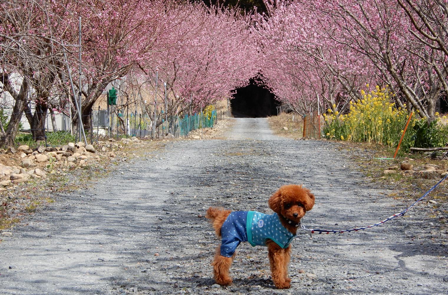道の駅 花桃の里でハナモモとわんこの素敵な写真を(浜松市天竜区)