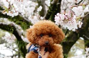 駿府城公園へ桜を見ながらお散歩してきたよ(静岡市)