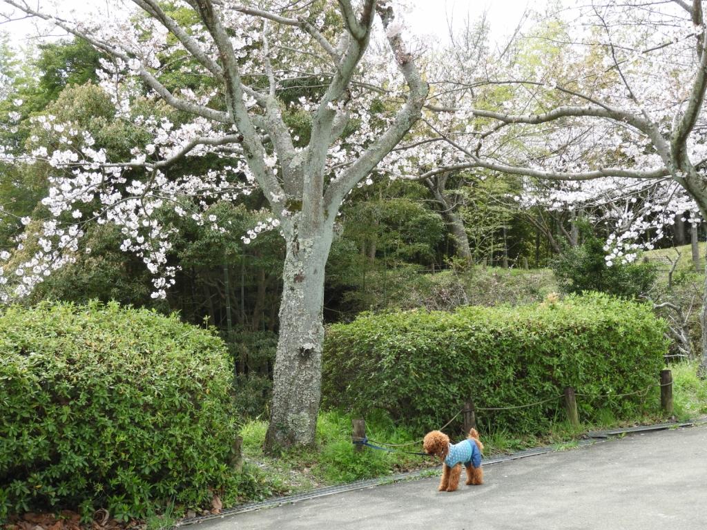 ふうたと桜