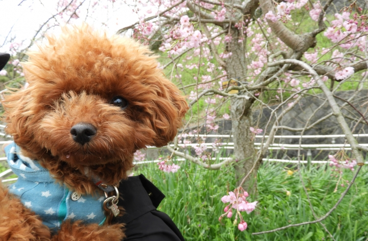清水船越堤公園へ桜を見にお散歩してきたよ(静岡市清水区)