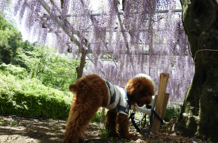 蓮華寺池公園に藤を見ながらお散歩(藤枝市)