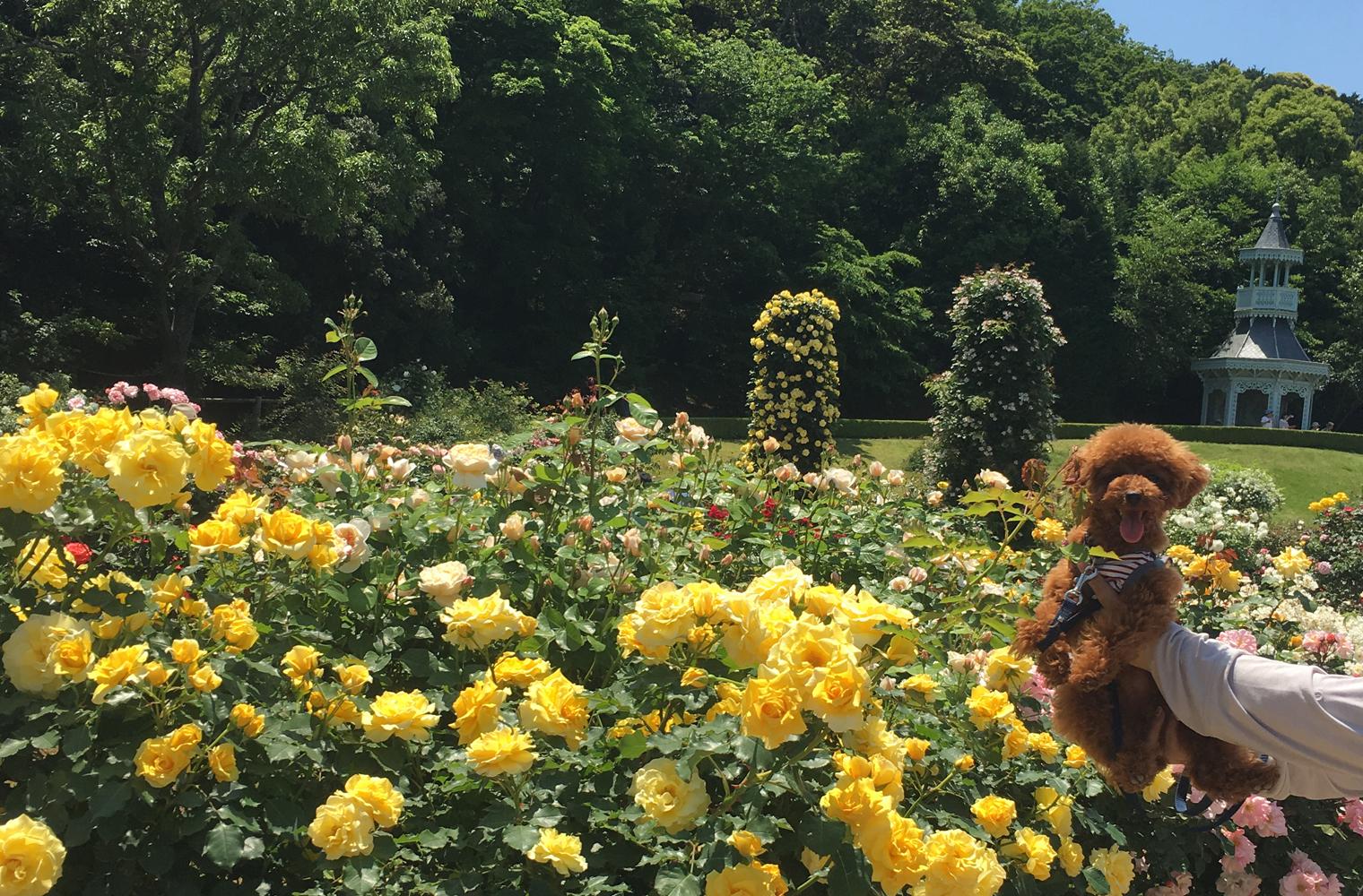 河津バガテル公園へバラを見てきたよ(賀茂郡河津町)