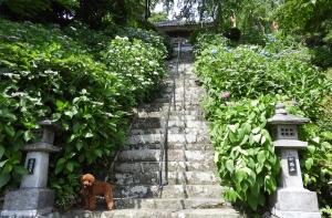 本勝寺の紫陽花を見てきたよ(掛川市)