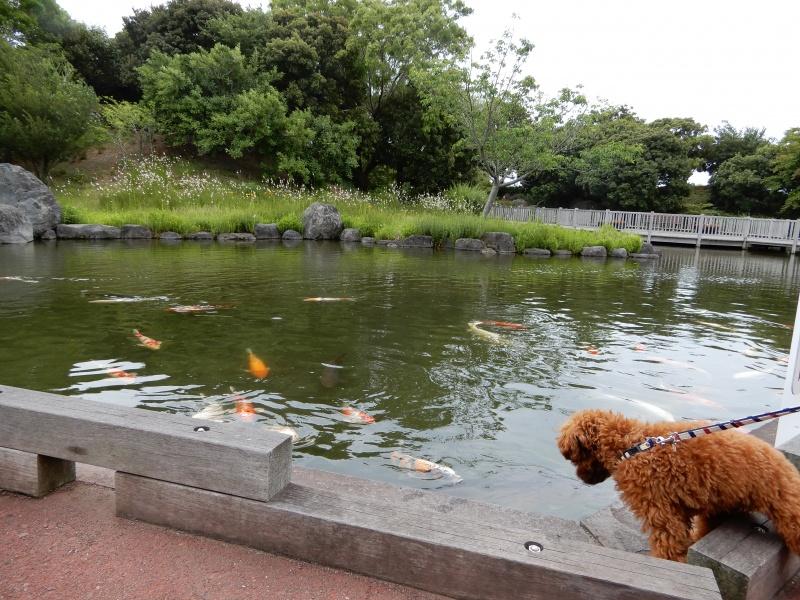 池の鯉に夢中で落ちそう