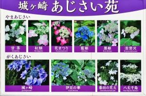 いろいろな紫陽花が見れる