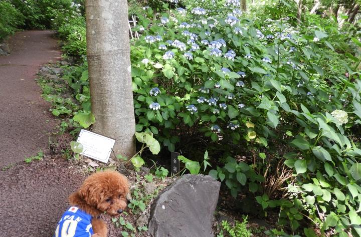 伊豆四季の花公園で紫陽花さんぽ(伊東市)
