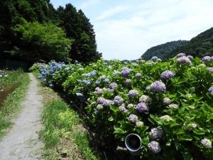 紫陽花もきれい