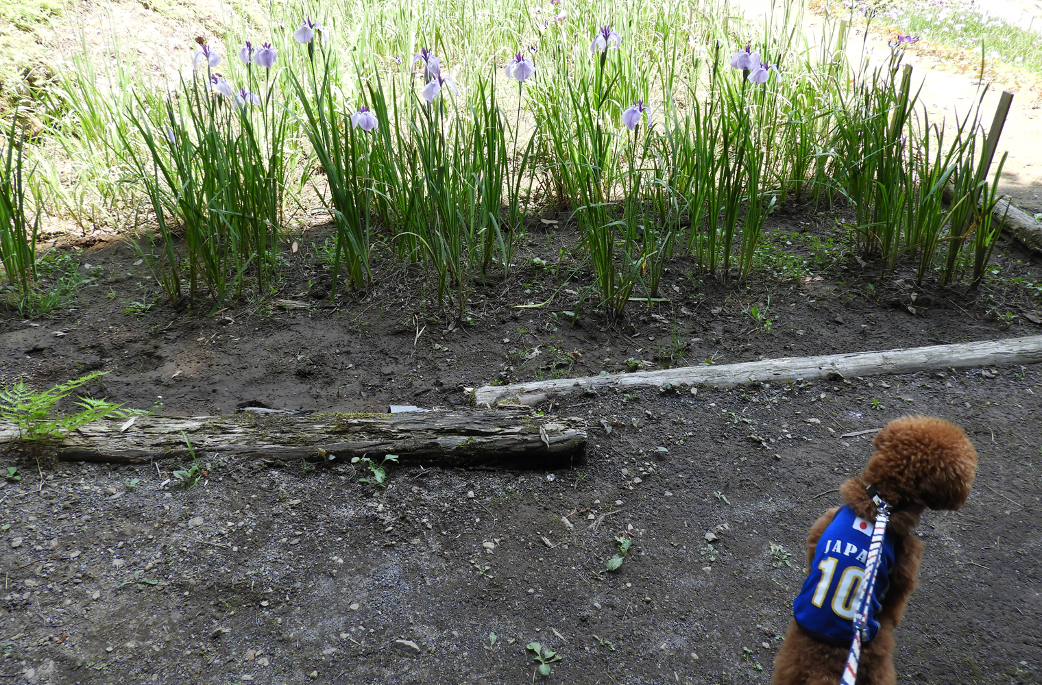 伊豆高原花しょうぶ園でしょうぶ散歩(伊東市)