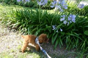アガパンサスきれいに咲いていました