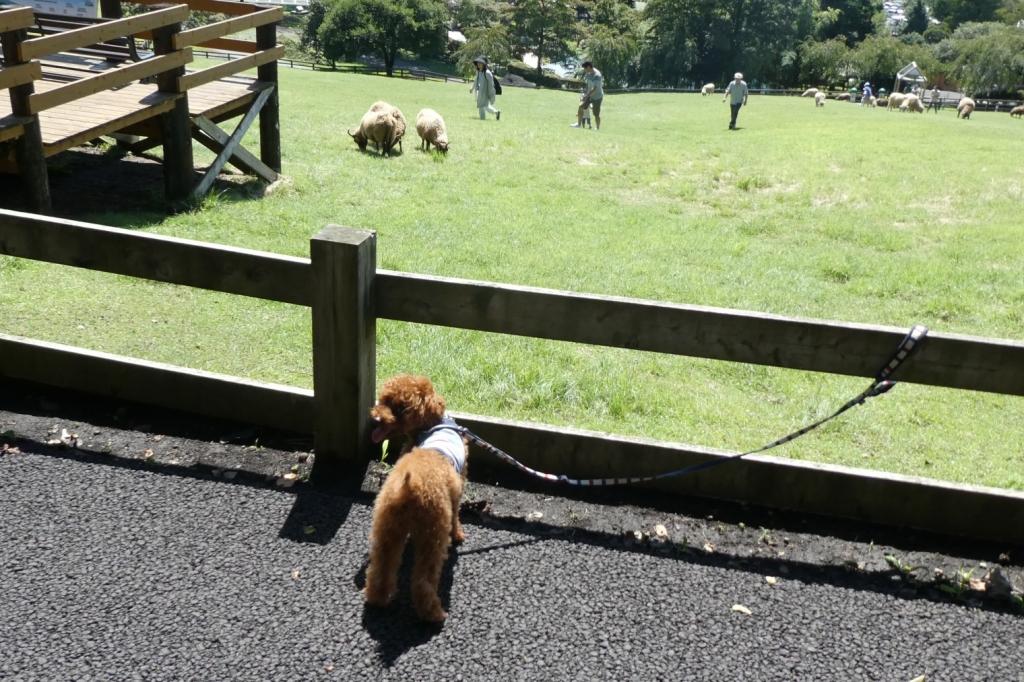 ふうたも羊さんを見ています