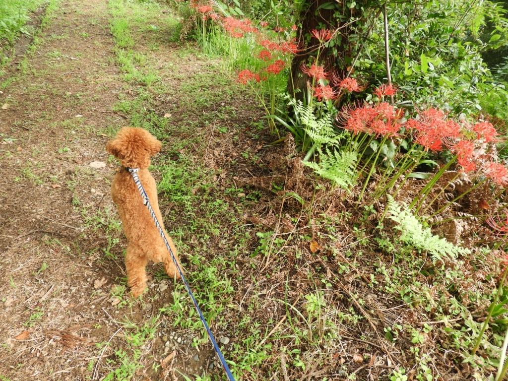 彼岸花を見ながら散歩
