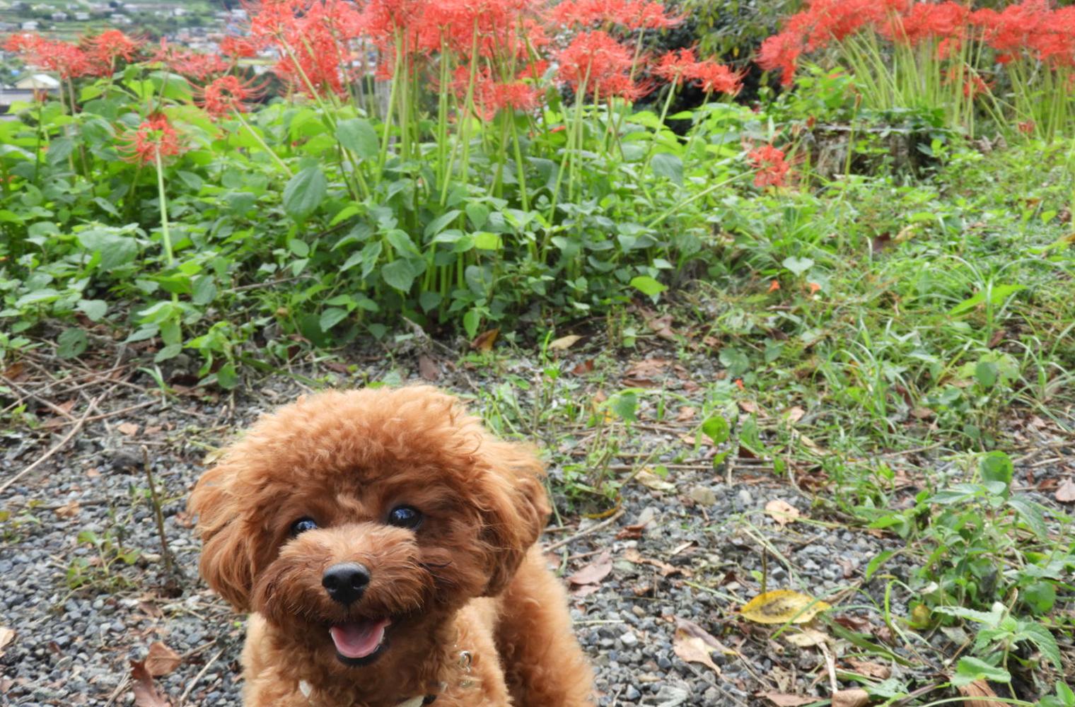興徳寺で彼岸花を見ながらお散歩(富士宮市)