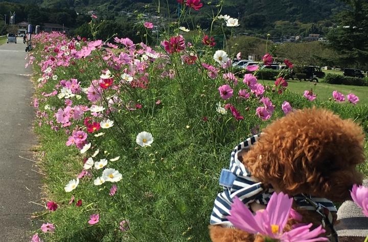 雁堤(かりがねづつみ)のコスモス畑に行ってきたよ(富士市)