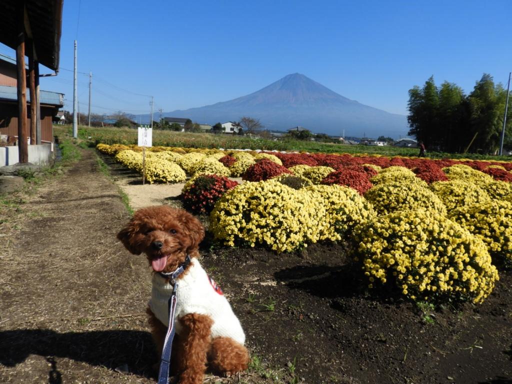 富士山とざる菊富士山とふうた