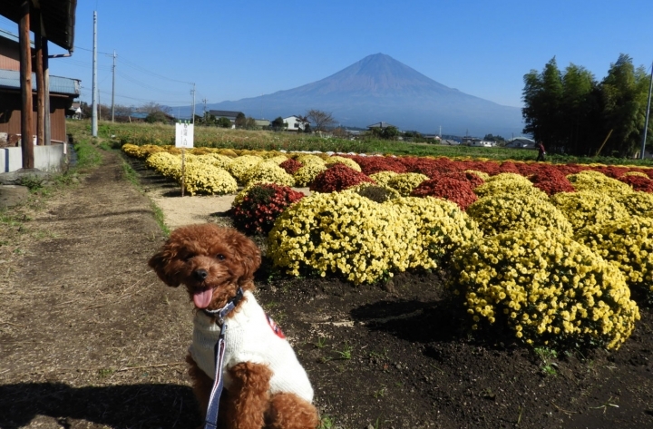 富士宮 南条の里にざる菊を見に行ってきたよ
