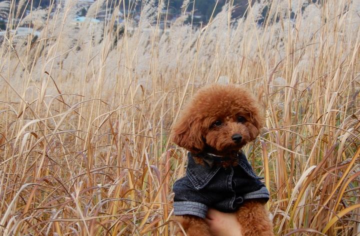 箱根仙石原のススキを見ながらお散歩