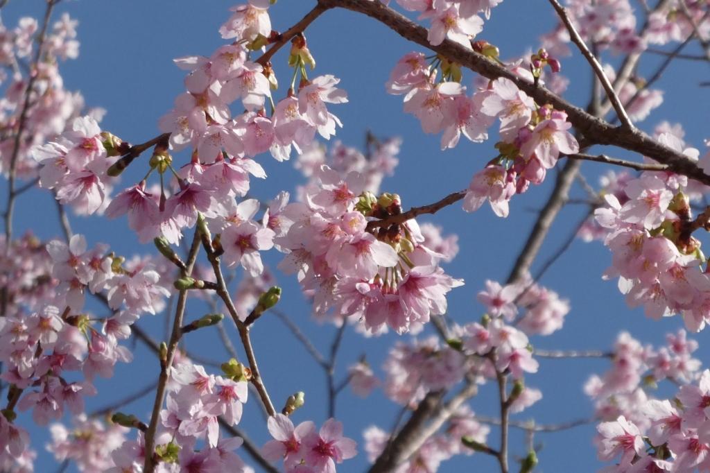 伊東桜だったかな