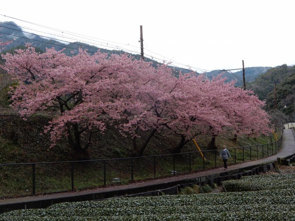 きれいに桜咲いていました
