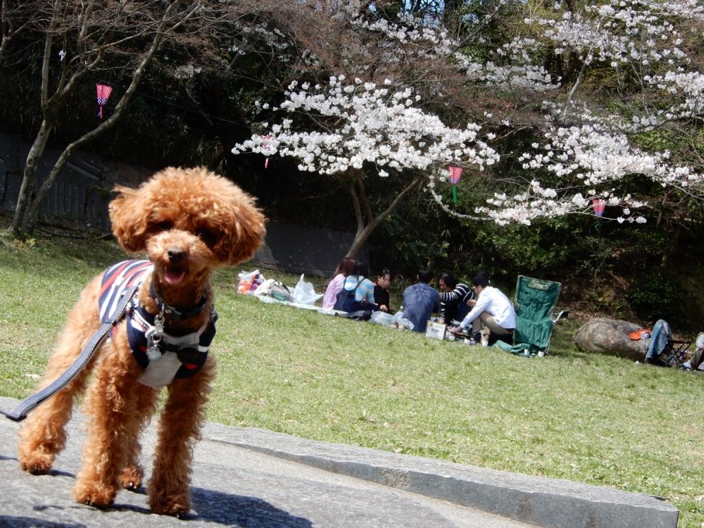 遠くの桜とふうた
