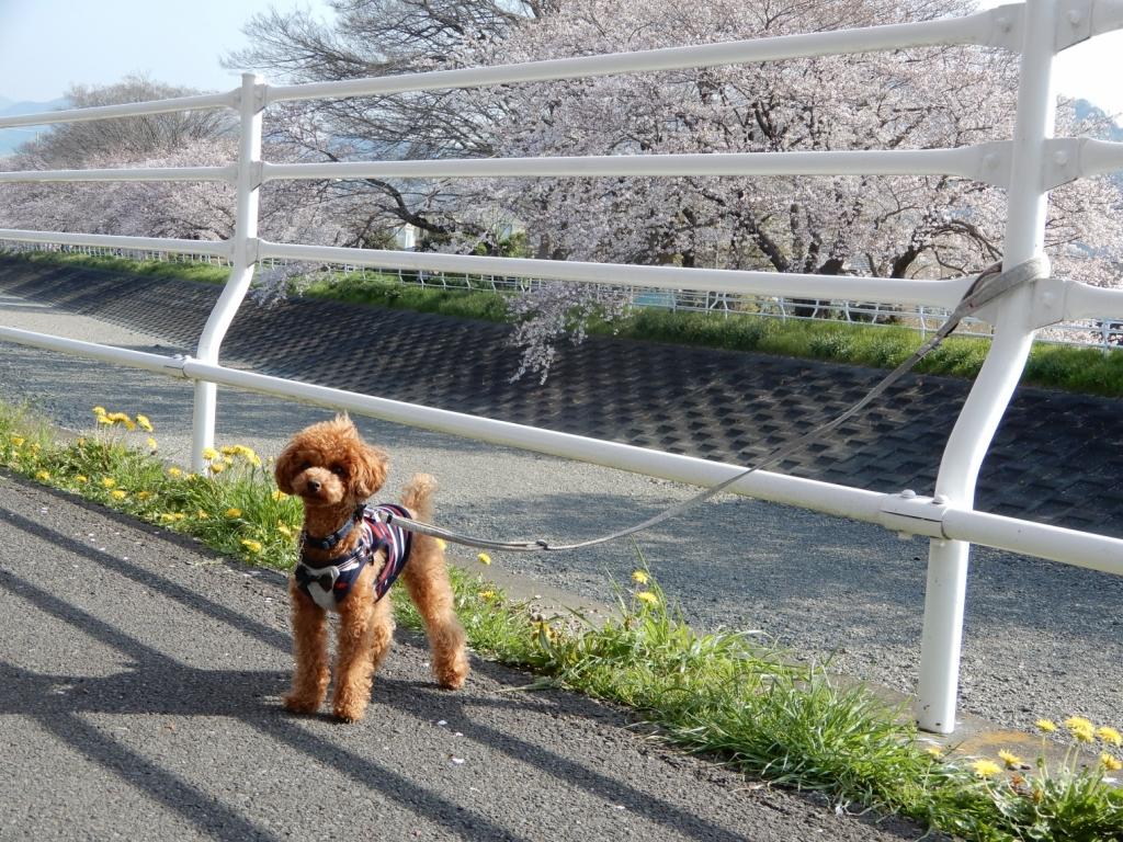 向こう岸の桜も満開