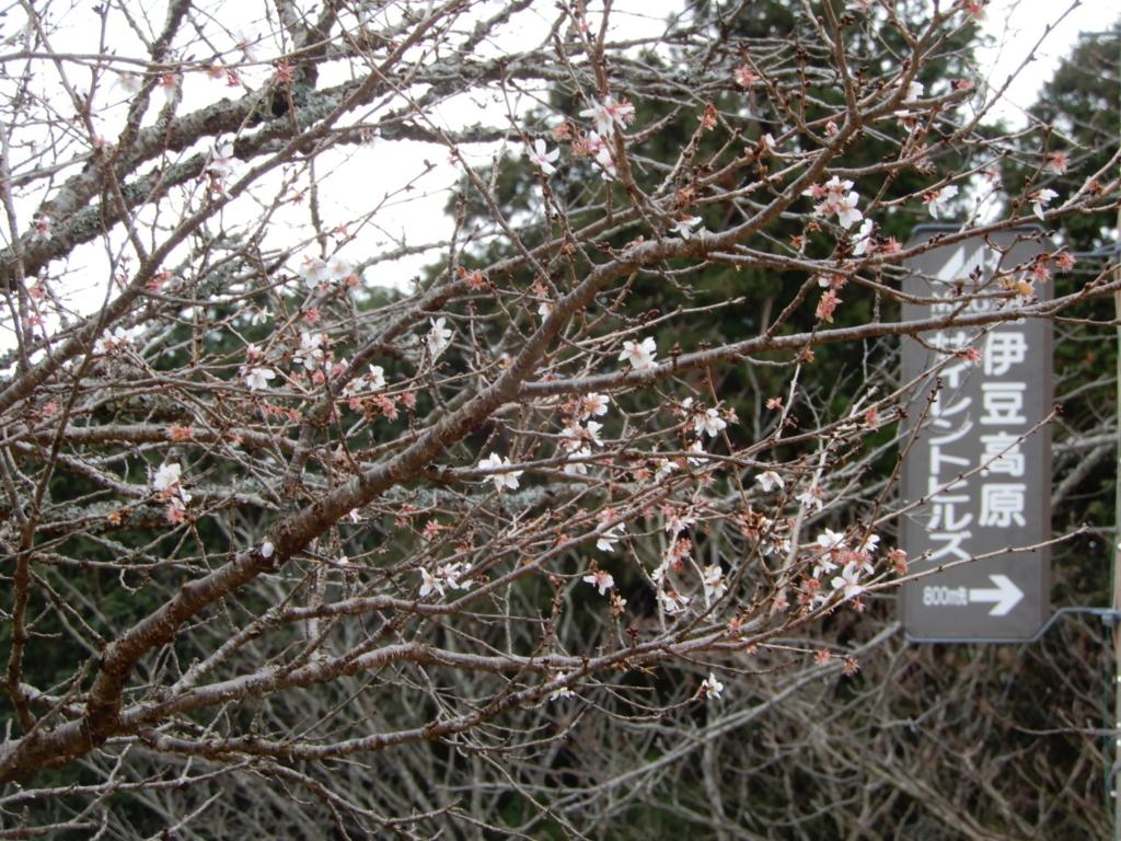 寒桜はまだ少し