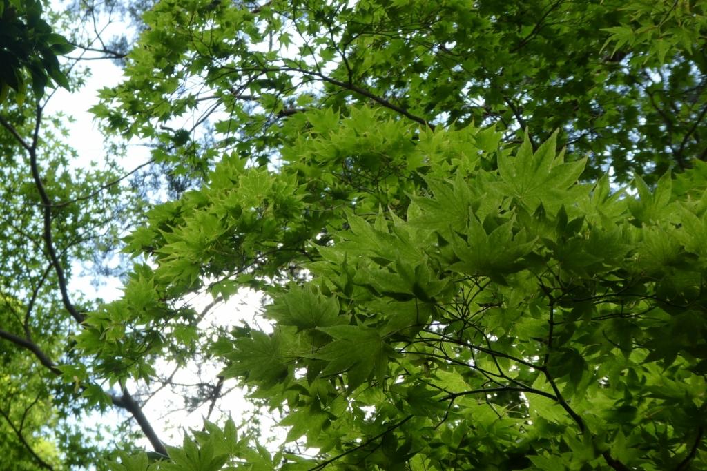 初夏の緑は気持ちいい