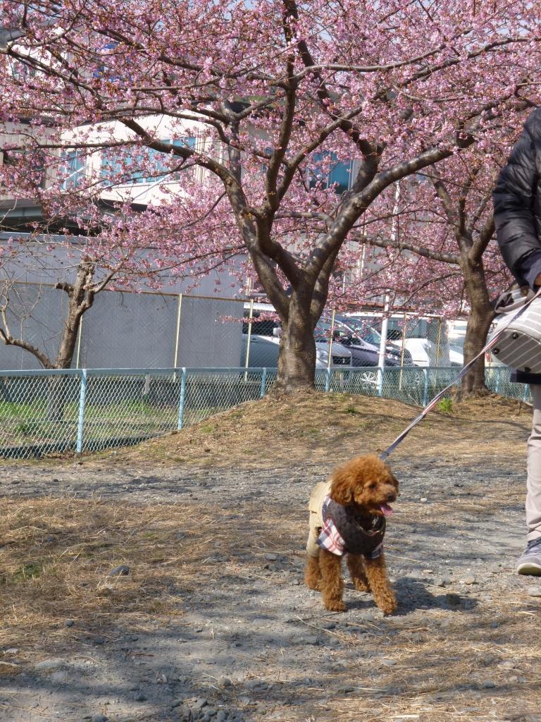 結構長いので桜を見ながらお散歩できます