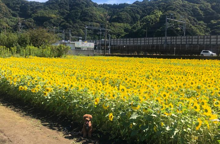 国道150号線沿いの季節外れのひまわり畑(焼津市野秋)