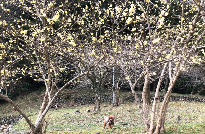 静岡市清水森林公園 やすらぎの森の竹林と蝋梅の中お散歩(静岡市清水区)