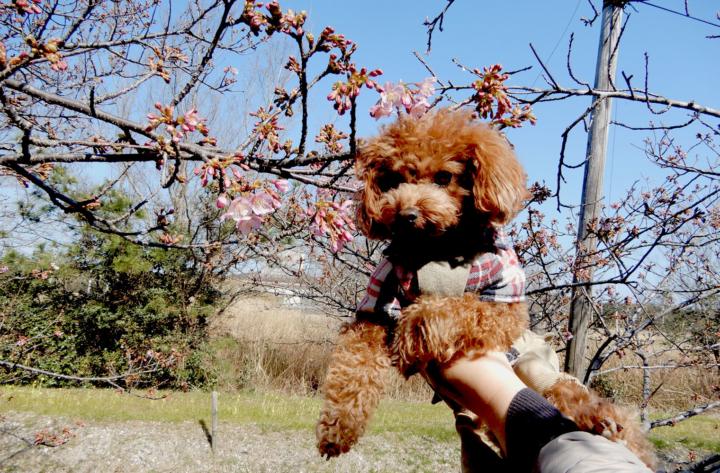 浜岡砂丘に河津桜を見に行ってきたよ(御前崎市)