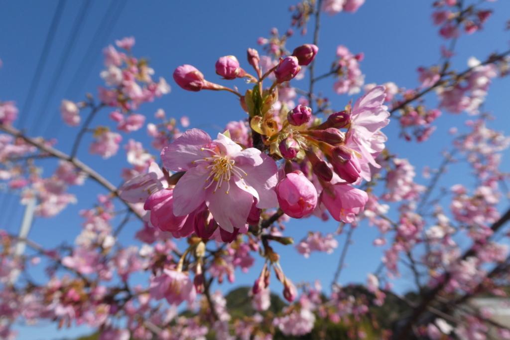 若い桜なのでとてもきれい