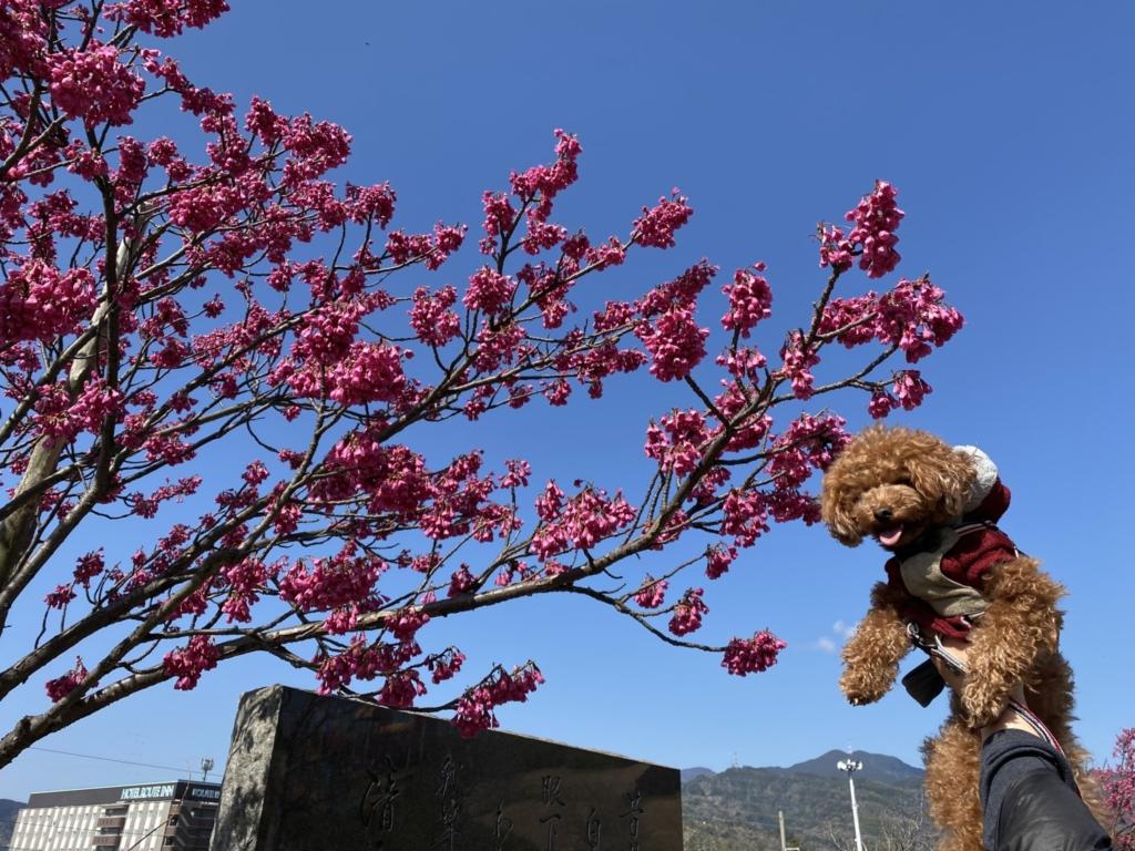 濃いピンクの桜が咲いていました