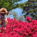 東名清水ICそばの秋葉山公園でお散歩(静岡市清水区)-キリシマツツジ