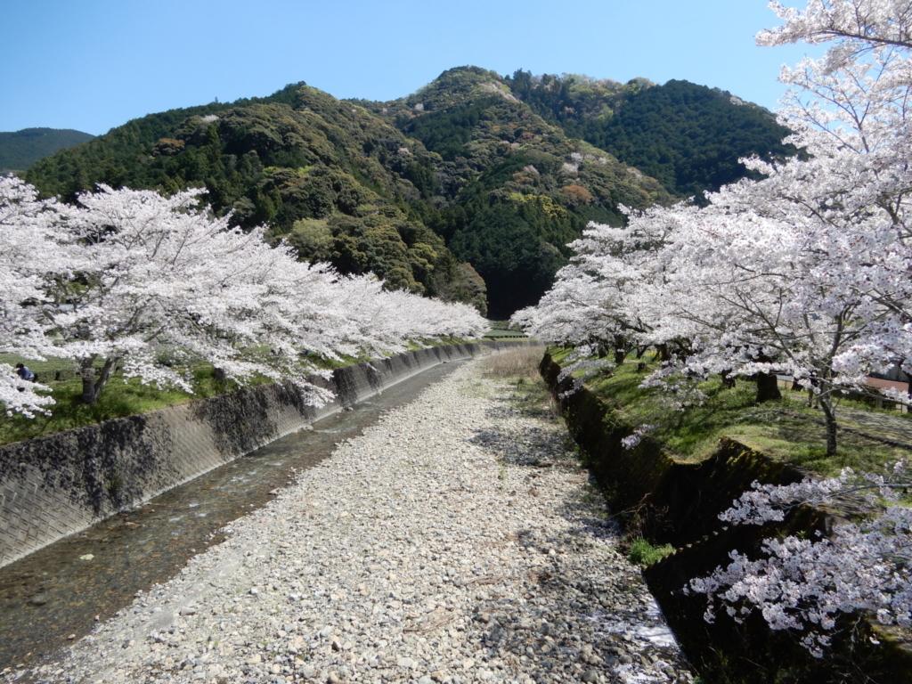 川の両側に桜並木が広がります