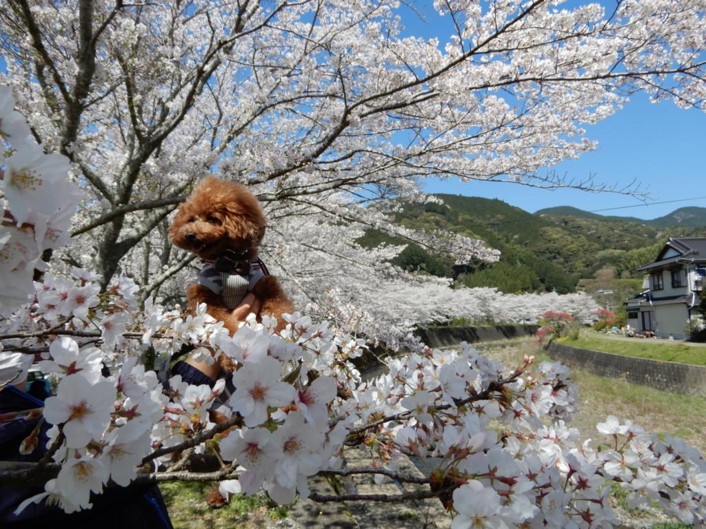 桜に埋もれるふうた