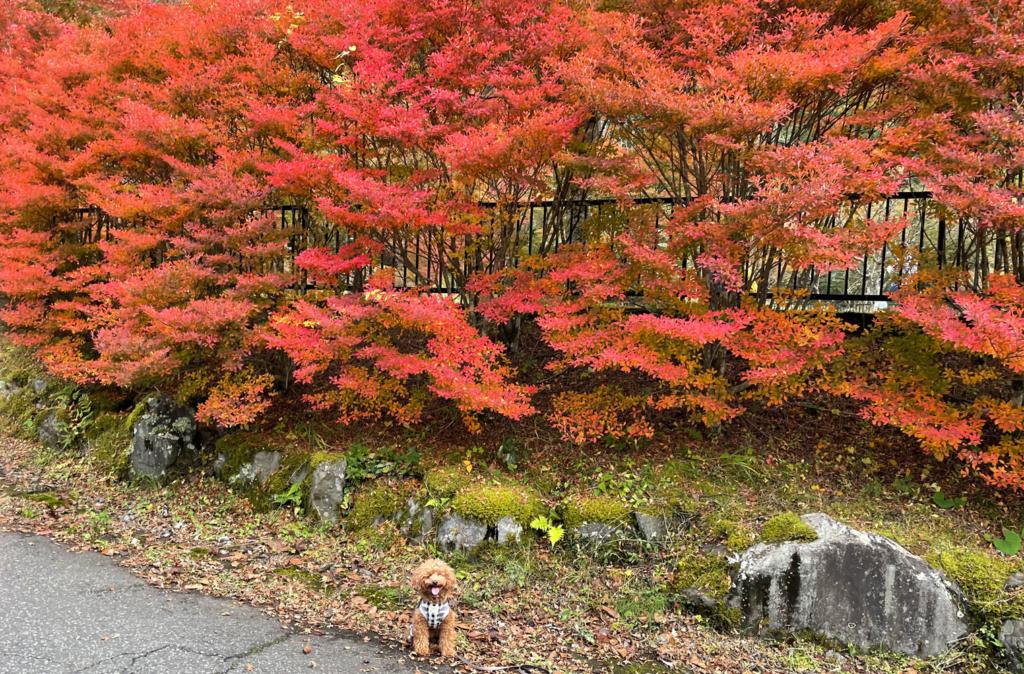 梅ヶ島に紅葉を見に行ってきたよ-静岡市葵区梅ケ島