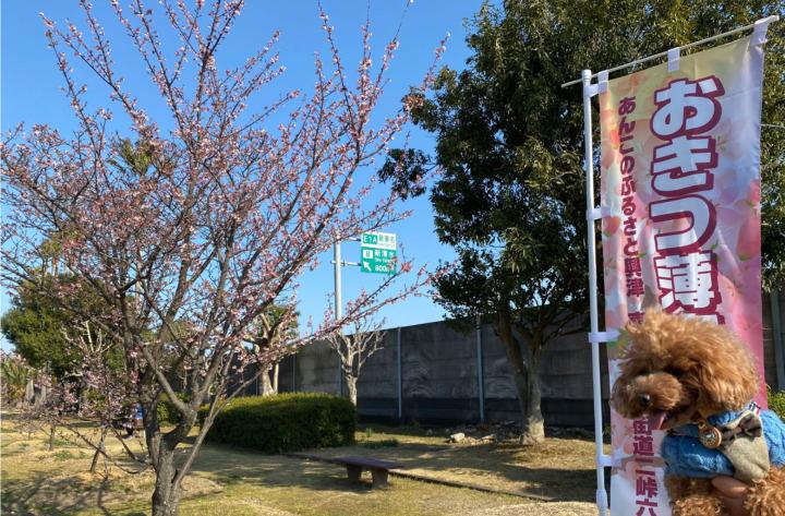 清水清見潟公園で興津薄寒桜を見てたい焼きを食べてきたよ(清水市興津)