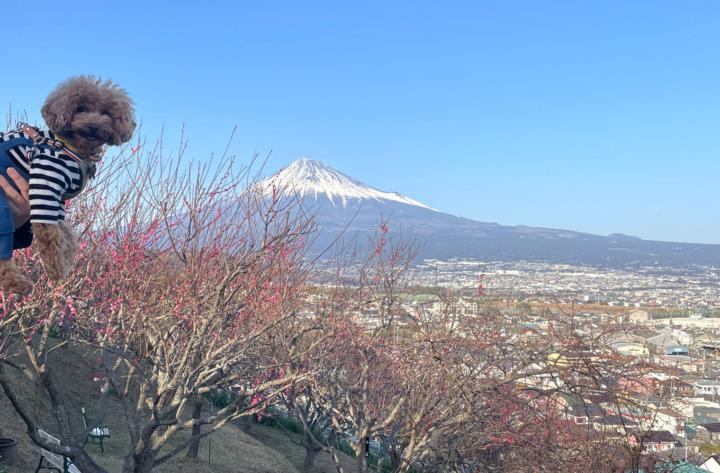 富士の宗清寺の梅(富士川梅園)を見てきたよ(富士市)
