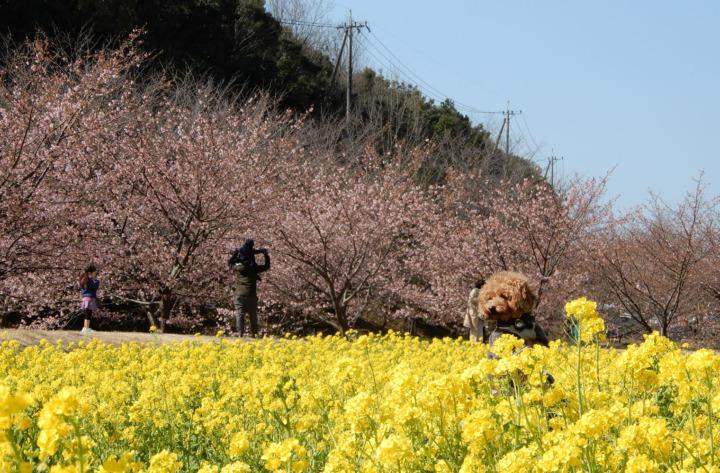 東大山の河津桜と菜の花を見てきたよ(浜松市西区)