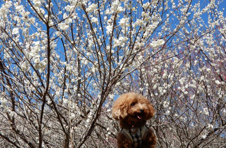 家山梅園にきれいな梅を見てきたよ(島田市川根町)